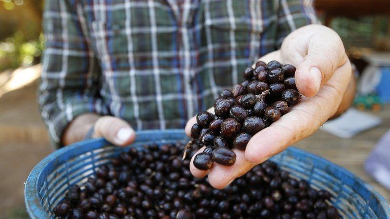 Black Ivory Coffee. Kavos Draugas